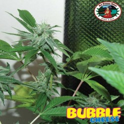 Bubble Cheese Big Buddha Seeds