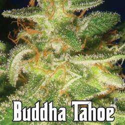 Buddha Tahoe Big Buddha Seeds