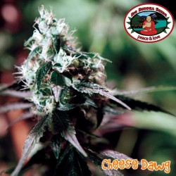 Cheese Dawg Big Buddha Seeds