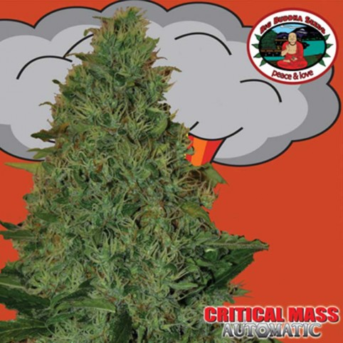 Critical Mass Automatic Big Buddha Seeds