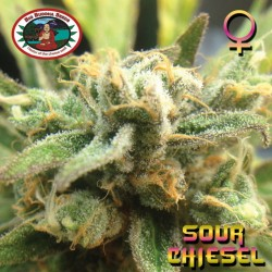 Sour Chiesel Big Buddha Seeds