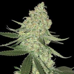 Big Cheese Auto - Cannabis Seeds