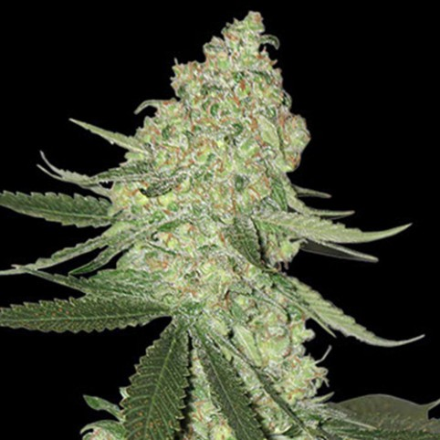 Big Cheese Auto - Cannabis Seeds