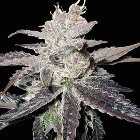 Freeze Berry Auto - Cannabis Seeds