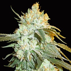 Head Stash Auto - Cannabis Seeds