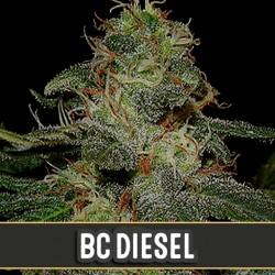 BC Diesel - Cannabis Seeds