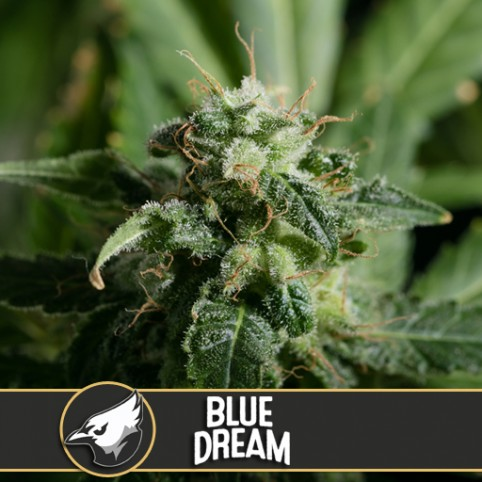 Blue Dream - Cannabis Seeds