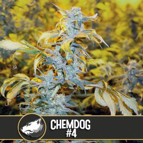 Chemdog #4 - Cannabis Seeds