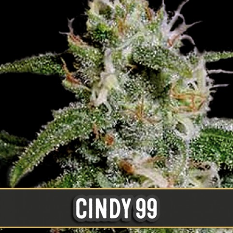 Cindy 99 - Cannabis Seeds