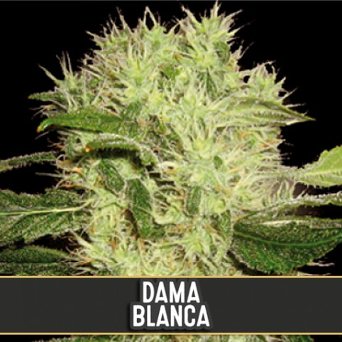 Dama Blanca - Cannabis Seeds