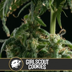 Girl Scout Cookies - Cannabis Seeds