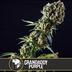 Grandaddy Purple - Cannabis Seeds