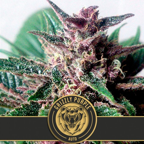 Grizzly Purple Auto - Cannabis Seeds
