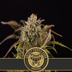 Grizzly Purple Kush - Cannabis Seeds