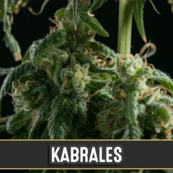 Kabrales - Cannabis Seeds