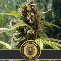 Mamba Negra Auto - Cannabis Seeds