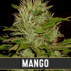 Mango - Cannabis Seeds