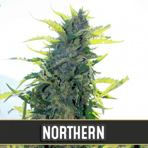 Northern Automatic - Cannabis Seeds