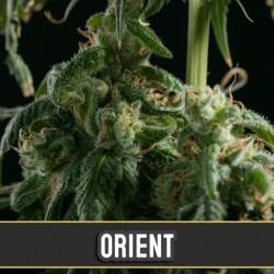Orient Automatic - Cannabis Seeds