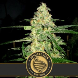 Original Clon - Cannabis Seeds