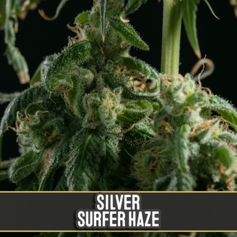 Silver Surfer Haze - Cannabis Seeds