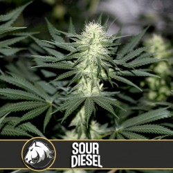 Sour Diesel - Cannabis Seeds