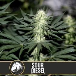 Sour Diesel - Cannabis Seeds