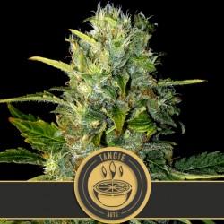 Tangie Auto - Cannabis Seeds