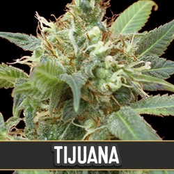 Tijuana - Cannabis Seeds