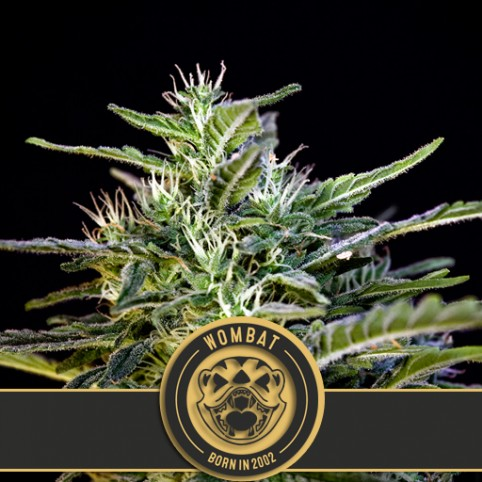 Wombat - Cannabis Seeds