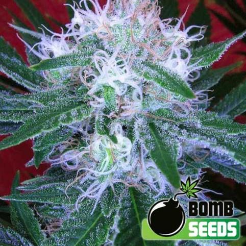 Auto Bomb Cannabis Seeds