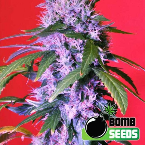 Berry Bomb Auto Cannabis Seeds