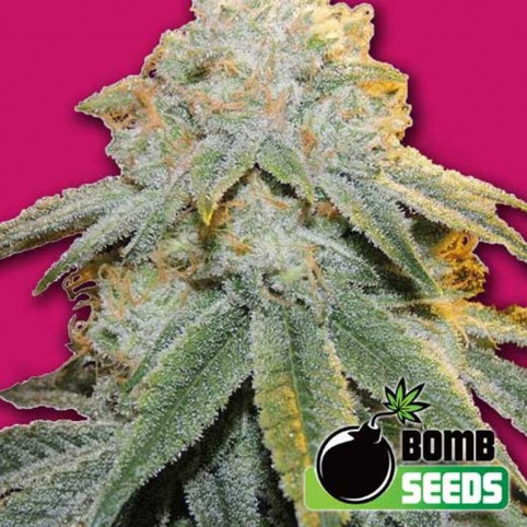Bubble Bomb Cannabis Seeds