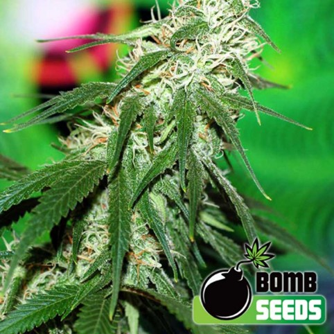 Buzz Bomb Cannabis Seeds