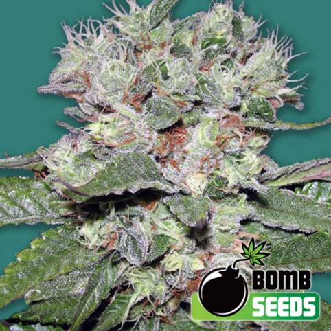 CBD Bomb Cannabis Seeds