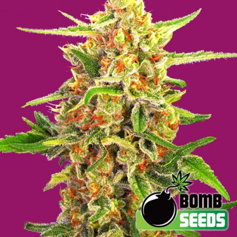 Cherry Bomb Cannabis Seeds