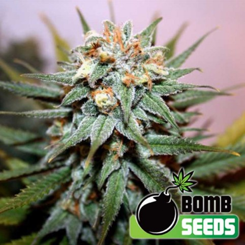Hash Bomb Cannabis Seeds