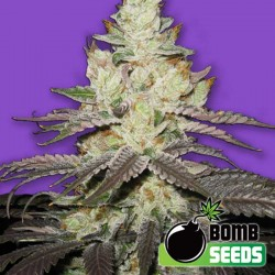 Killer Purps Cannabis Seeds