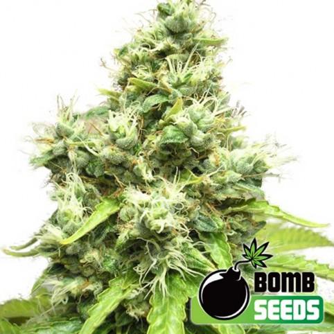 Medi Bomb Cannabis Seeds