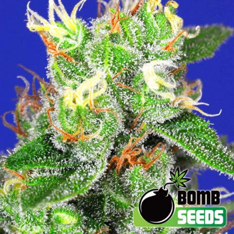 Medi Bomb #1 Cannabis Seeds
