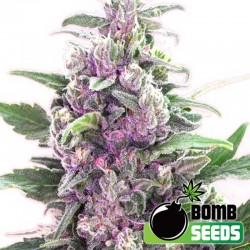 THC Bomb Cannabis Seeds