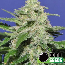 Widow Bomb Cannabis Seeds
