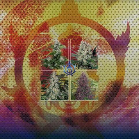 Assorted Auto Buddha Mix - Marijuana Seeds