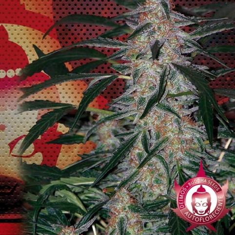 Deimos - Auto-Flowering Cannabis Seeds