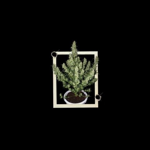 Magnum Cannabis Seeds