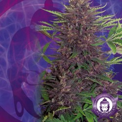 Purple Kush Automatic Cannabis Seeds