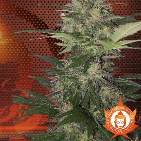 Red Dwarf Cannabis Seeds