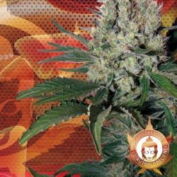 Syrup Cannabis Seeds