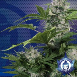 White Dwarf Cannabis Seeds