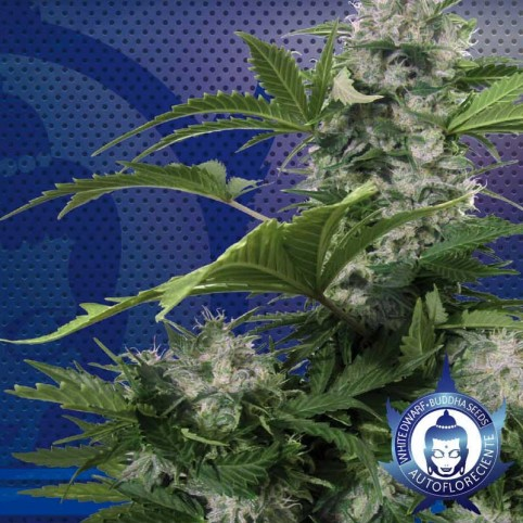 White Dwarf Cannabis Seeds